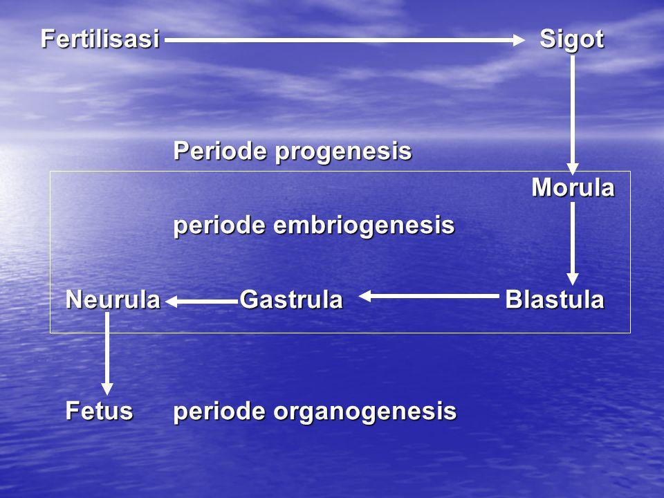 Fertilisasi Sigot Periode progenesis Morula Morula periode embriogenesis NeurulaGastrulaBlastula Fetusperiode organogenesis
