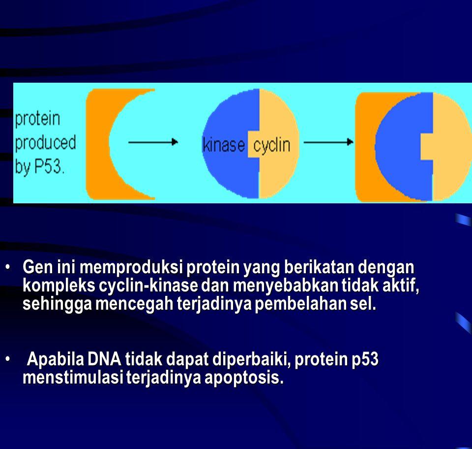 • Gen ini memproduksi protein yang berikatan dengan kompleks cyclin-kinase dan menyebabkan tidak aktif, sehingga mencegah terjadinya pembelahan sel. •