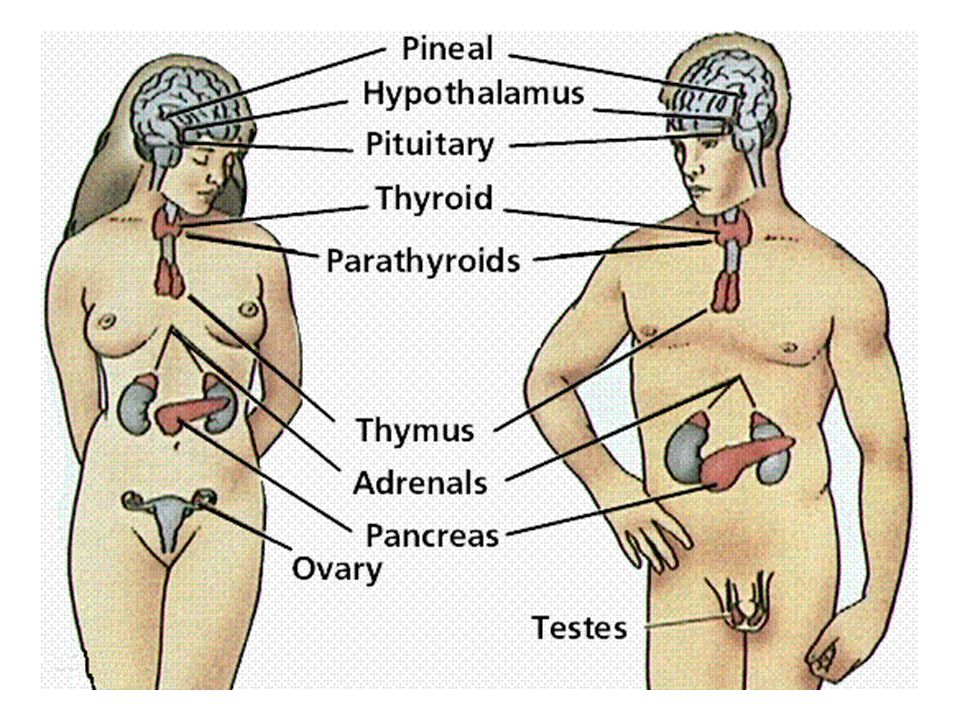 Kelenjar ovarium Menghasilkan estrogen, progesteron, relaksin dan inhibin • Estrogen dan progesteron  membangun dan mempertahankan karakteristik kelamin wanita, termasuk siklus menstruasi, kehamilan dan perkembangan kelenjar mamae • Relaksin  membantu dilatasi uterus pada akhir kehamilan • Inhibin  menghambat sekresi FSH pada akhir siklus menstruasi