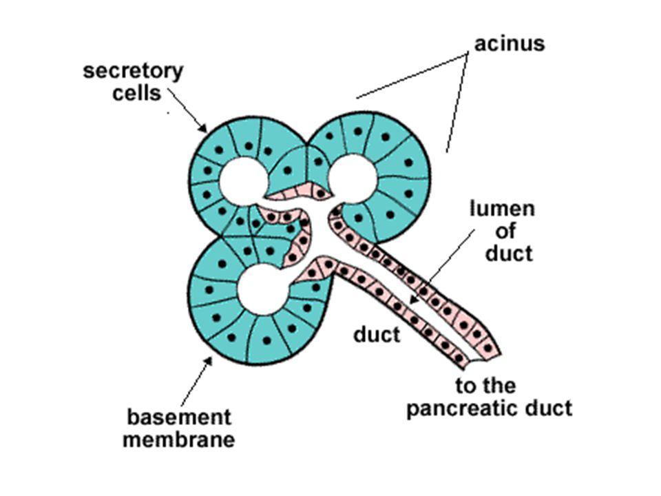 Kelenjar testis • Terletak di dalam skrotum • Menghasilkan testosteron dan inhibin • Testosteron  membangun dan mempertahankan karakteristik kelamin pria dan regulasi spermatogenesis • Inhibin  menghambat sekresi FSH sebagai feedback dalam mengatur produksi sperma
