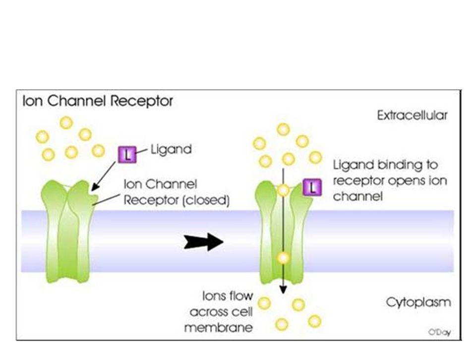 • Berdasarkan letak reseptornya, hormon dikelompokan menjadi hormon steroid dan nonsteroid • Hormon non steroid bekerja dengan cara menduduki reseptor yang terletak di membran sel pada organ target • Hormon steroid mudah melewati membran sel dan akan menduduki reseptor yang ada di sitoplasma