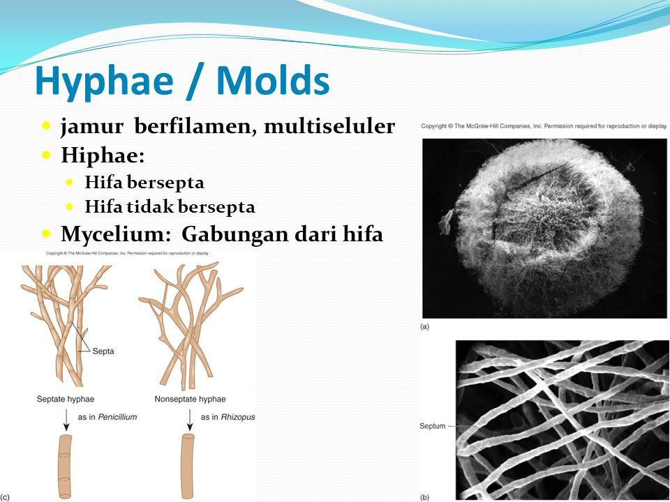 Hyphae / Molds  jamur berfilamen, multiseluler  Hiphae:  Hifa bersepta  Hifa tidak bersepta  Mycelium: Gabungan dari hifa