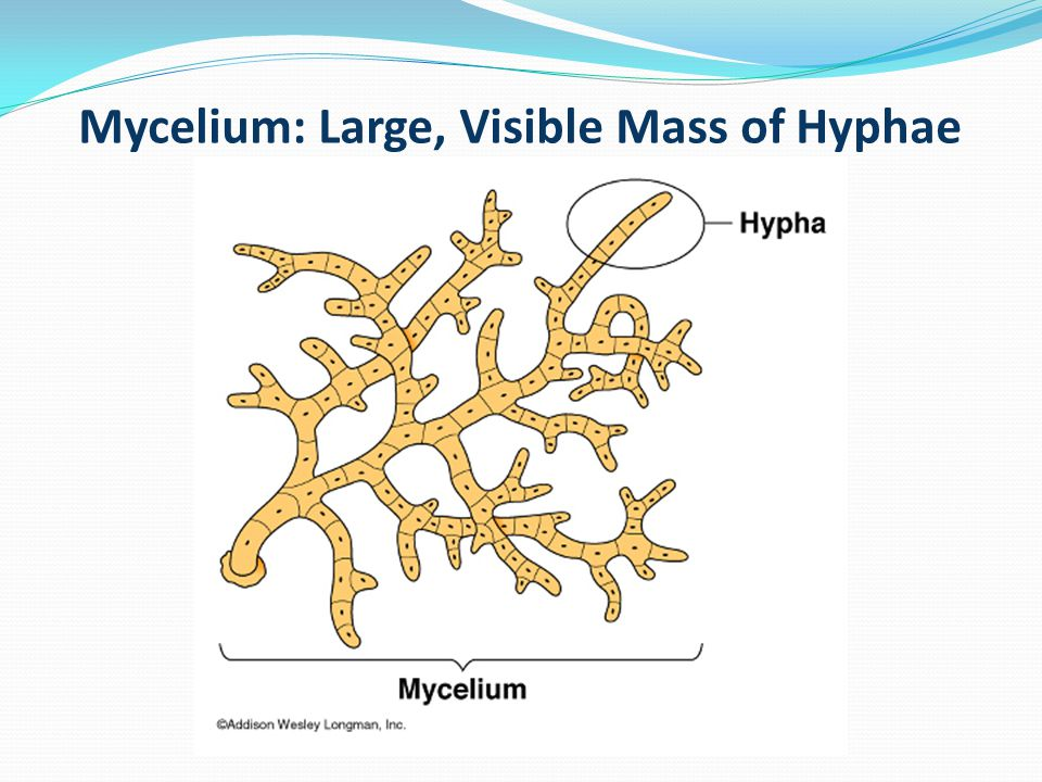 Mycelium: Large, Visible Mass of Hyphae
