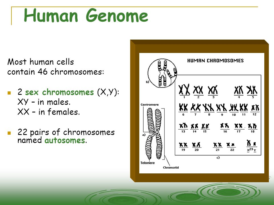 Human Genome Most human cells contain 46 chromosomes:  2 sex chromosomes (X,Y): XY – in males.