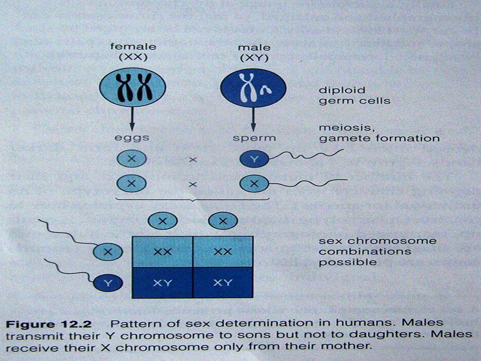 c/ haemophilia P:X H X H ><X H Y G:X H X h Y F1: X H X h (normal carier) X H Y(normal) c2 P: X H X h ><X h Y G:X H X h X h Y F1: X H X h (carier)X h X h (letal) X H Y(normal)X h Y (haemofilia)