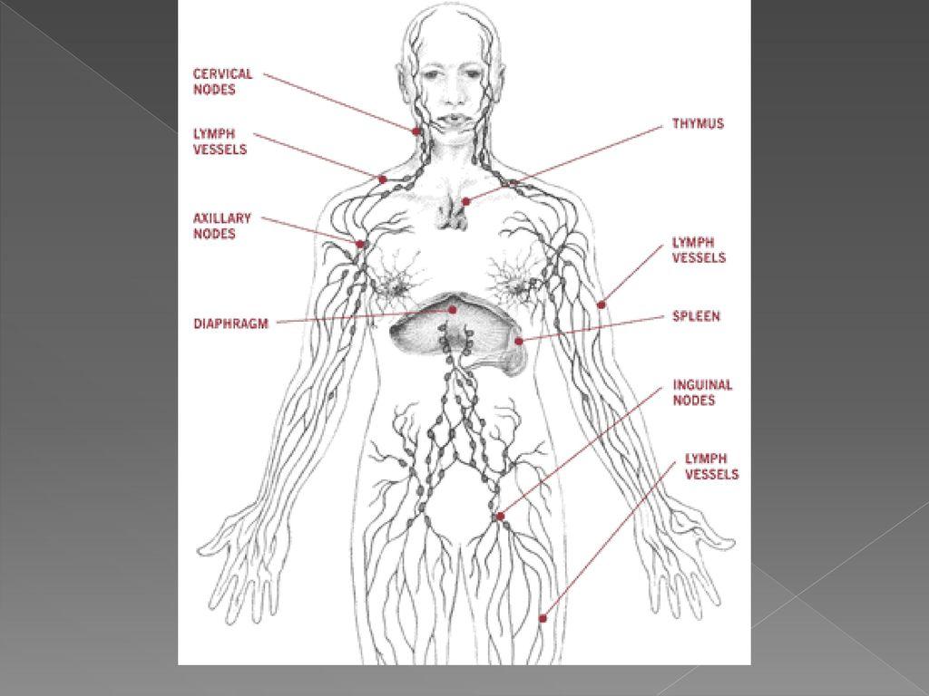 Расположение лимфатических узлов схема