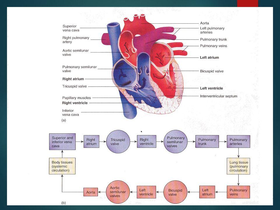 ANATOMI JANTUNG BY: NS. MEI EKA W, S.KEP Jantung dan Ruang. - ppt ...