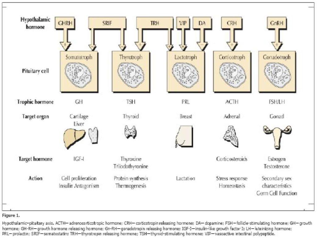 serotonin et hormon