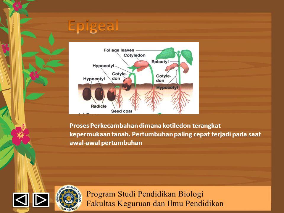 Proses Perkecambahan dimana kotiledon terangkat kepermukaan tanah. Pertumbuhan paling cepat terjadi pada saat awal-awal pertumbuhan
