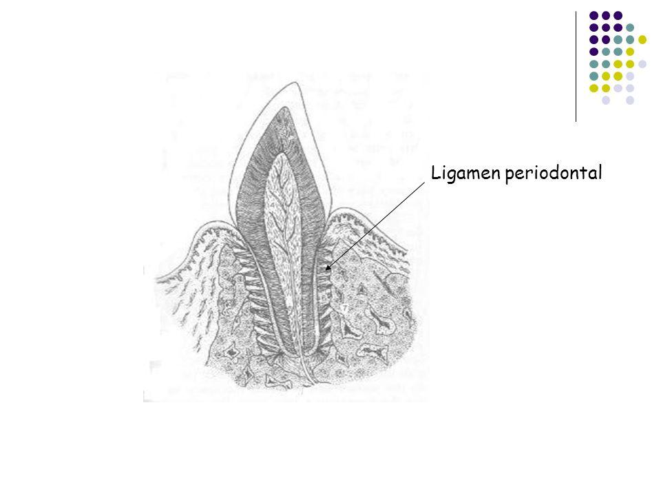 GOMPHOSIS  Implantasi gigi pada alveoli rahang.  Gomphosis ini dianggap tidak tepat sbg persendian karena gigi tidak merupakan bagian dari skeleton.