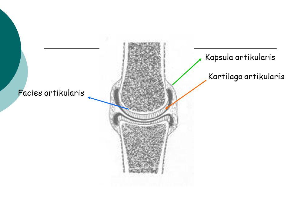 lapisan fibrousa cairan synovial cavum articulare (berwarna hitam) Cavum articulare :