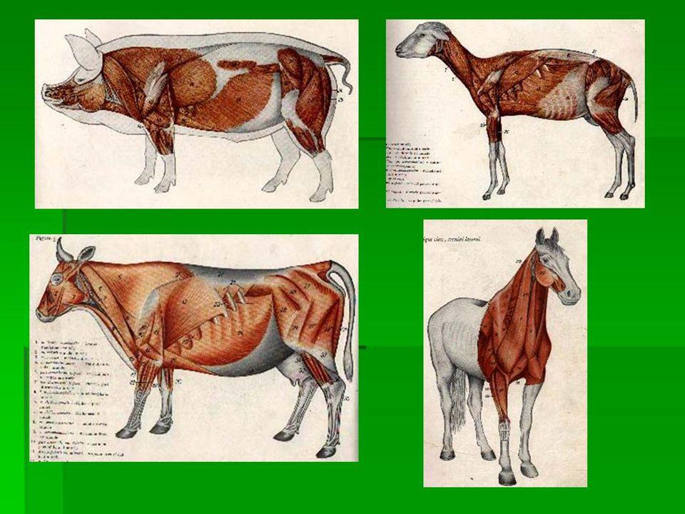 IDENTIFIKASI OTOT, berdasarkan : - Nama Otot - Bentuk dan Letaknya - Origo dan Insertio - Sifat Gerakan - Struktur - Hubungan Otot dengan Sekitar - Va