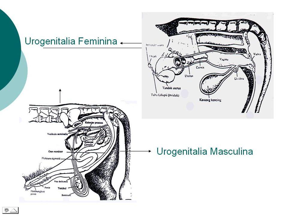 TRACTUS URO-GENITALIA  Sistema Uropoetica: Ren, Ureter, Vesica Urinaria,Urethra  Sistema Genitalia: 1. Masculina, tdd. Testes, Scrotum, Epidi- dymis