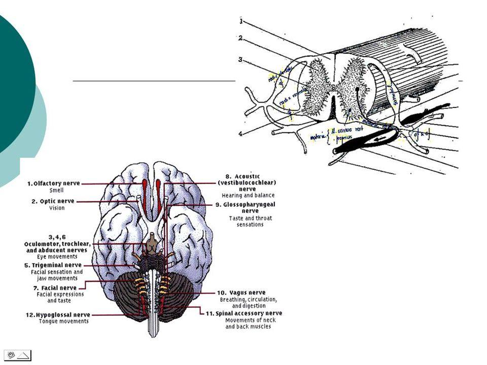 NEUROLOGI  Ilmu yg mempelajari ttg sistima syaraf pusat dan perifer  Tdd. Encephalon, Medulla Spinalis, Neuron, gangglion, cabang2 syaraf Pusat dan