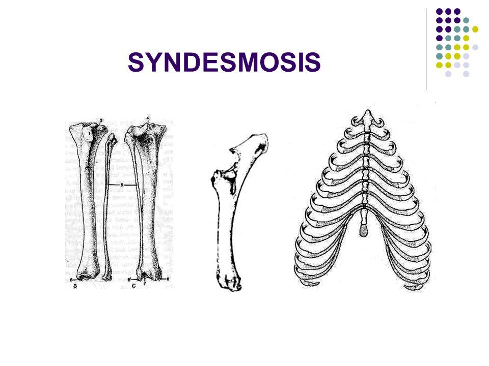 SYNDESMOSIS  Penyatunya adalah jaringan fibrous putih atau elastis atau campuran keduanya.  exp: pers antara ossa metacarpal. perlekatan satu dg yg