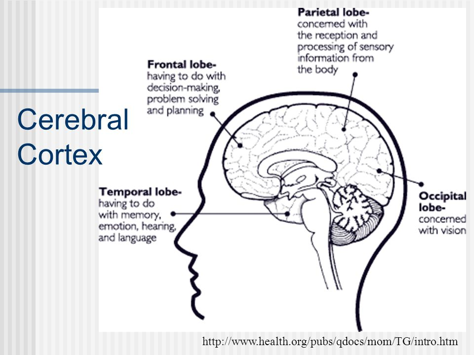 Cerebral Cortex http://www.health.org/pubs/qdocs/mom/TG/intro.htm