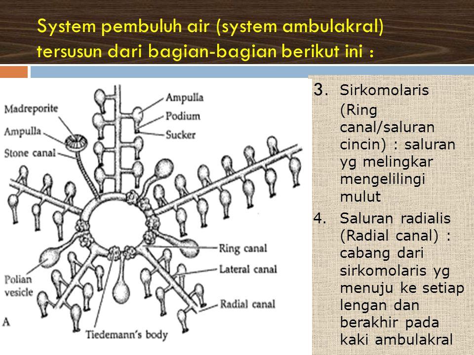 System pembuluh air (system ambulakral) tersusun dari bagian-bagian berikut ini : 3.