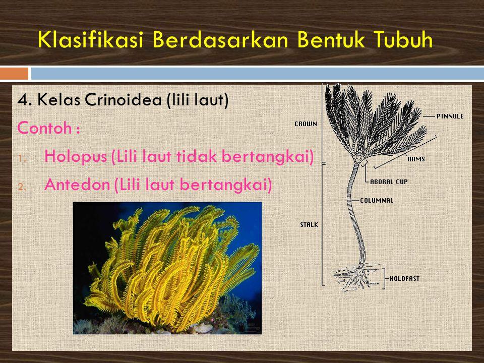 Klasifikasi Berdasarkan Bentuk Tubuh 4.Kelas Crinoidea (lili laut) Contoh : 1.