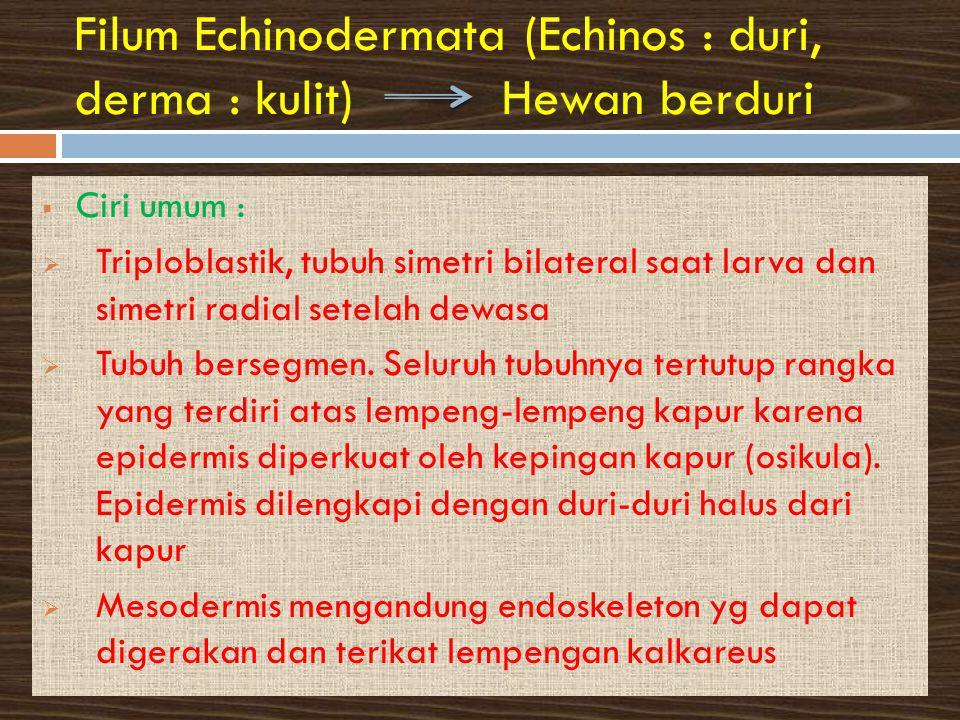 Filum Echinodermata (Echinos : duri, derma : kulit) Hewan berduri  Ciri umum :  Triploblastik, tubuh simetri bilateral saat larva dan simetri radial setelah dewasa  Tubuh bersegmen.