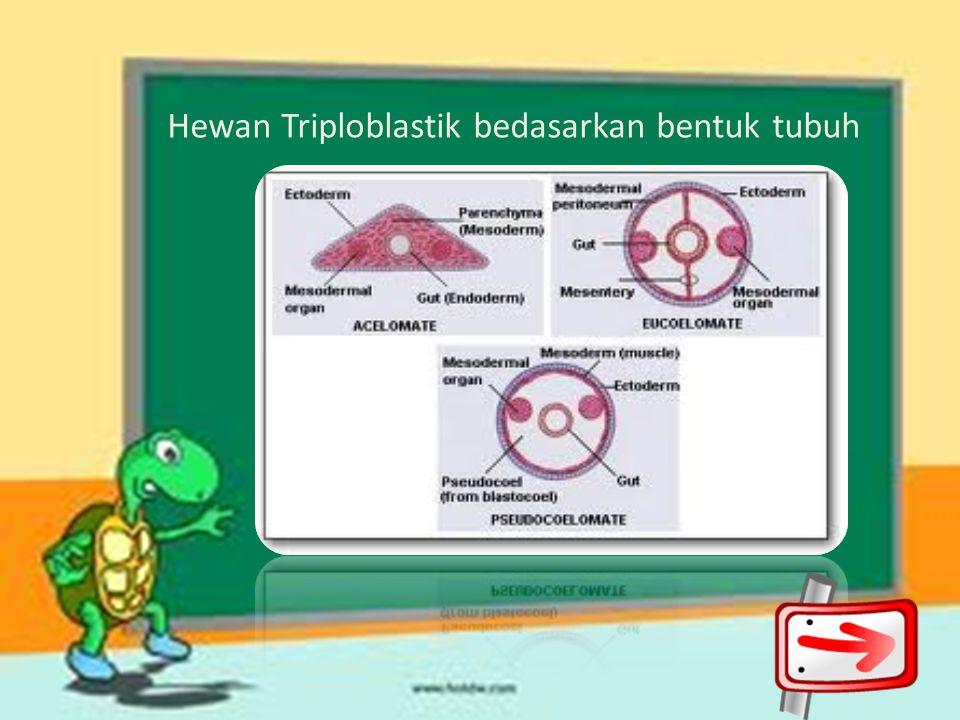 Diploblastik : 2 lapisan Triploblastik : 3 lapisan Berdasarkan simetri dan lapisan tubuh, hewan diklasifikasikan menjadi: 1.R adiata: simetri radial,