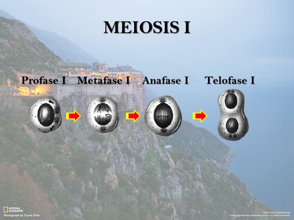 MEIOSIS I Profase IMetafase IAnafase ITelofase I