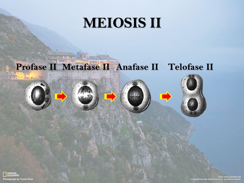 MEIOSIS II Profase IIMetafase IIAnafase IITelofase II