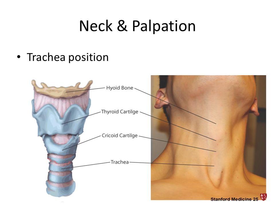Neck & Palpation • Trachea position