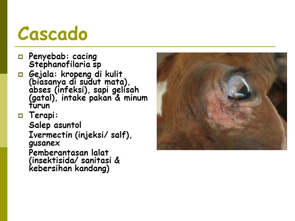 Cascado  Penyebab: cacing Stephanofilaria sp  Gejala: kropeng di kulit (biasanya di sudut mata), abses (infeksi), sapi gelisah (gatal), intake pakan