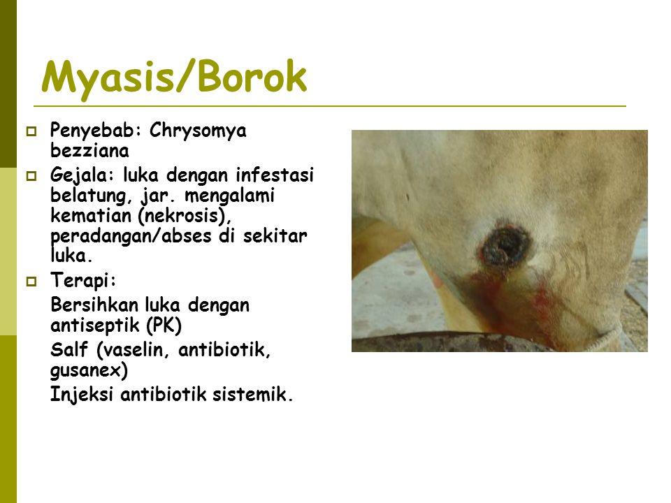 Myasis/Borok  Penyebab: Chrysomya bezziana  Gejala: luka dengan infestasi belatung, jar. mengalami kematian (nekrosis), peradangan/abses di sekitar