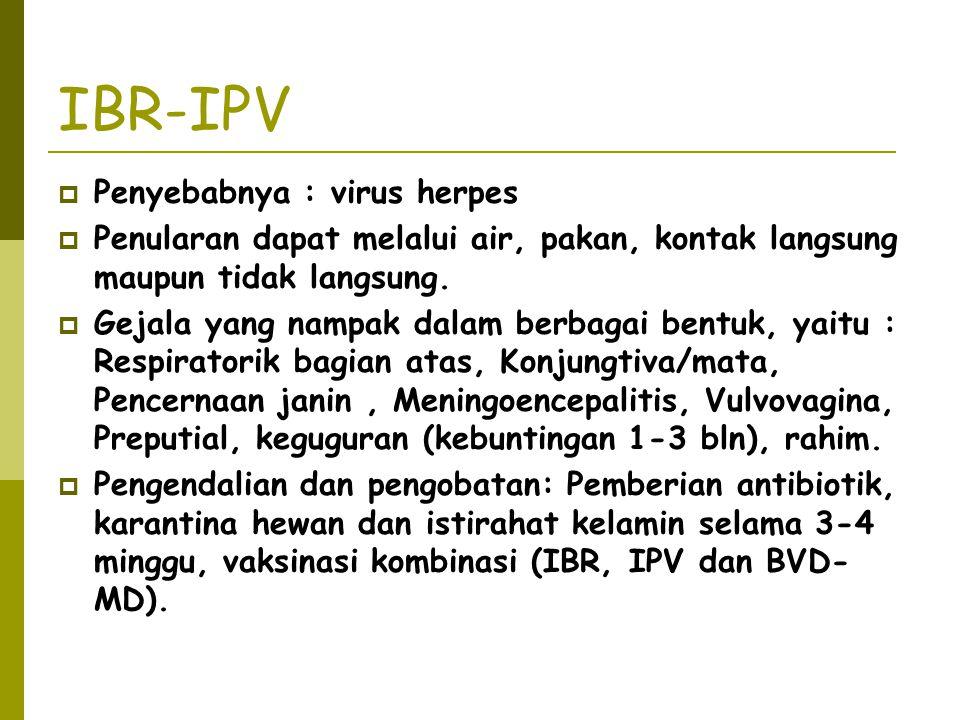 IBR-IPV  Penyebabnya : virus herpes  Penularan dapat melalui air, pakan, kontak langsung maupun tidak langsung.  Gejala yang nampak dalam berbagai