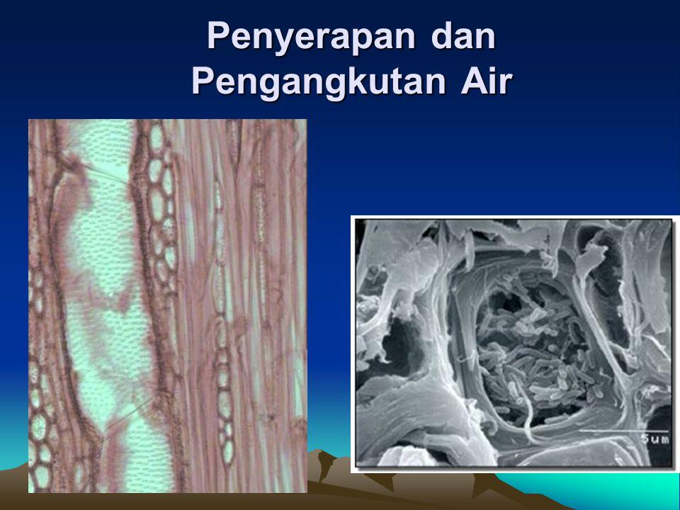 Organ yang menyerap air •Akar=organ tanaman yang aktif menyerap air •Rambut akar paling cepat menyerap air, jumlahnya sedikit, jumlah air yang diserap sedikit •Sel gabus lambat dalam menyerap air, jumlahnya banyak, air yang diserap banyak