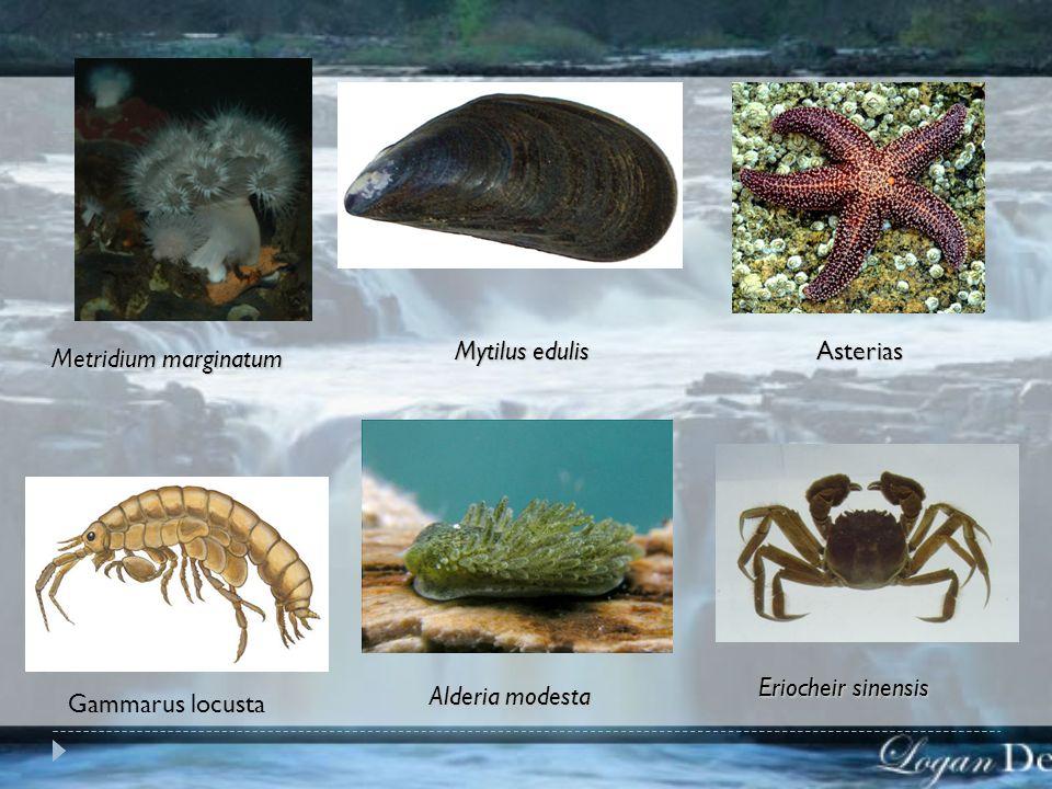 BIOTA & PRODUKTIVITAS - BIOTA ESTUARIA FAUNA  Lautan : - Stenohalin - Stenohalin Co: Sea anemon (Metridium marginatum), Kerang Co: Sea anemon (Metrid