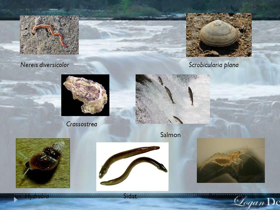 Nereis diversicolor Crassostrea Scrobicularia plana HydrobiaPalaemonetus Salmon Sidat