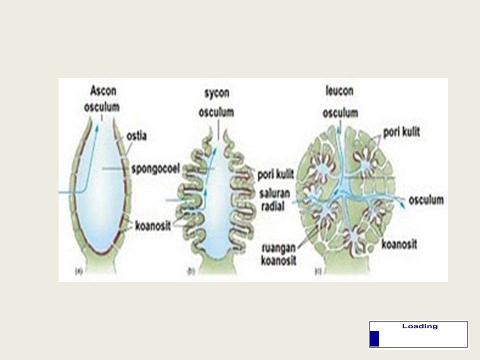  Mempunyai 3 tipe saluran air: • Ascon Ascon merupakan tipe saluran air dimana lubang-lubang ostiumnya dihubungkan dengan saluran lurus yang langsung menuju ke spongosol (rongga dalam) • Sycon Sycon merupakan tipe saluran air dimana lubang-lubang ostiumnya dihubungkan dengan saluran yang bercabang-cabang ke rongga- rangga yang berhubungan langsung dengan spongosol • Leucon.