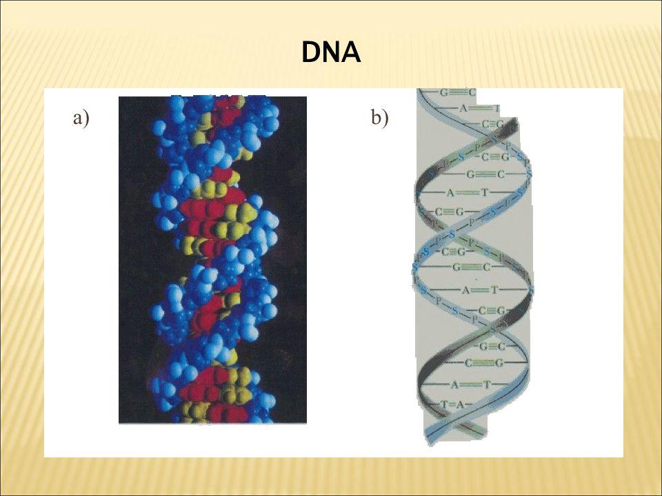 a)b) DNA