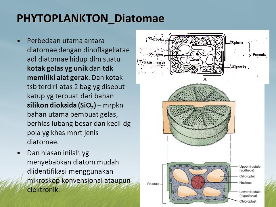 PHYTOPLANKTON_Diatomae •Perbedaan utama antara diatomae dengan dinoflagellatae adl diatomae hidup dlm suatu kotak gelas yg unik dan tdk memiliki alat