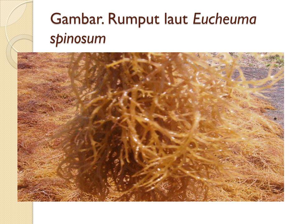 Gambar. Rumput laut Eucheuma spinosum