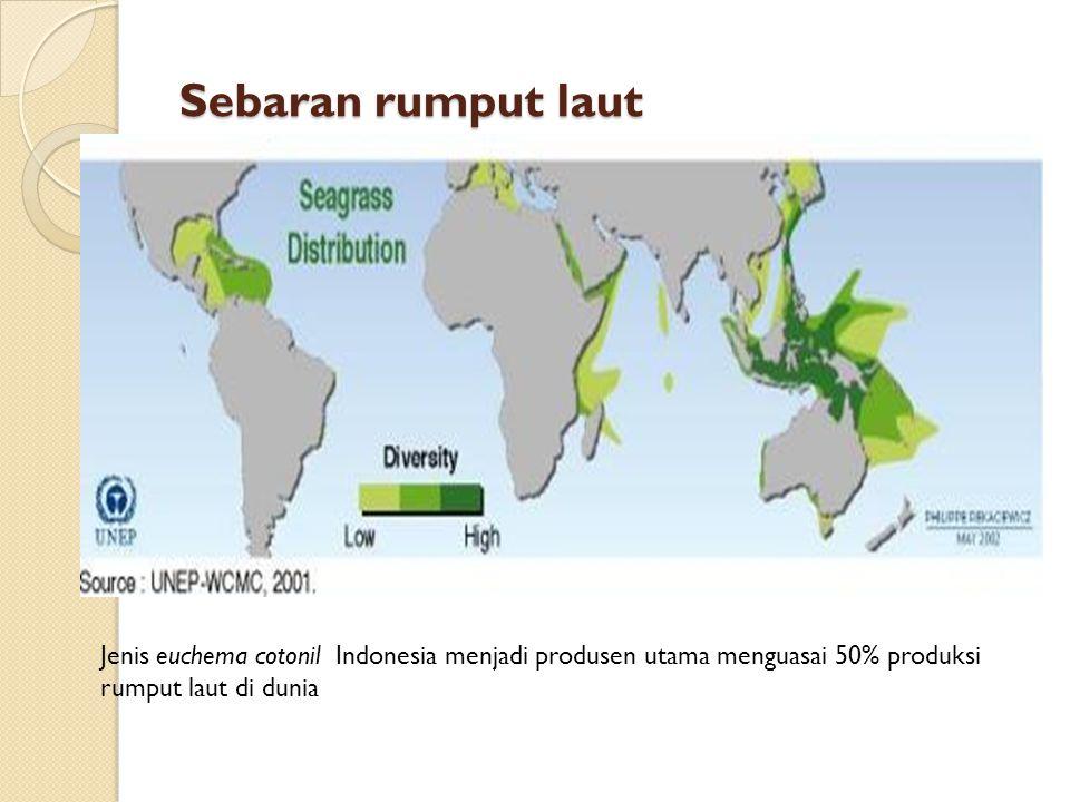 Sebaran rumput laut Jenis euchema cotonil Indonesia menjadi produsen utama menguasai 50% produksi rumput laut di dunia
