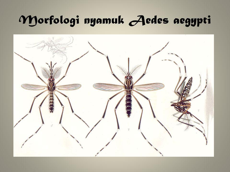 Morfologi nyamuk Aedes aegypti