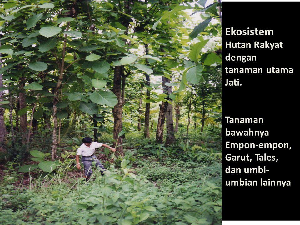 Ekosistem Hutan Rakyat dengan tanaman utama Jati. Tanaman bawahnya Empon-empon, Garut, Tales, dan umbi- umbian lainnya