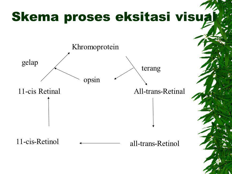 Skema proses eksitasi visual Khromoprotein 11-cis Retinal 11-cis-Retinol All-trans-Retinal all-trans-Retinol opsin gelap terang