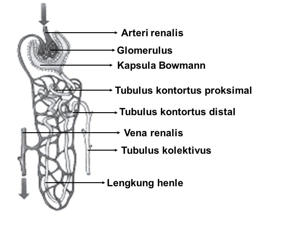 Vena renalis Arteri renalis Glomerulus Kapsula Bowmann Tubulus kontortus proksimal Tubulus kontortus distal Lengkung henle Tubulus kolektivus
