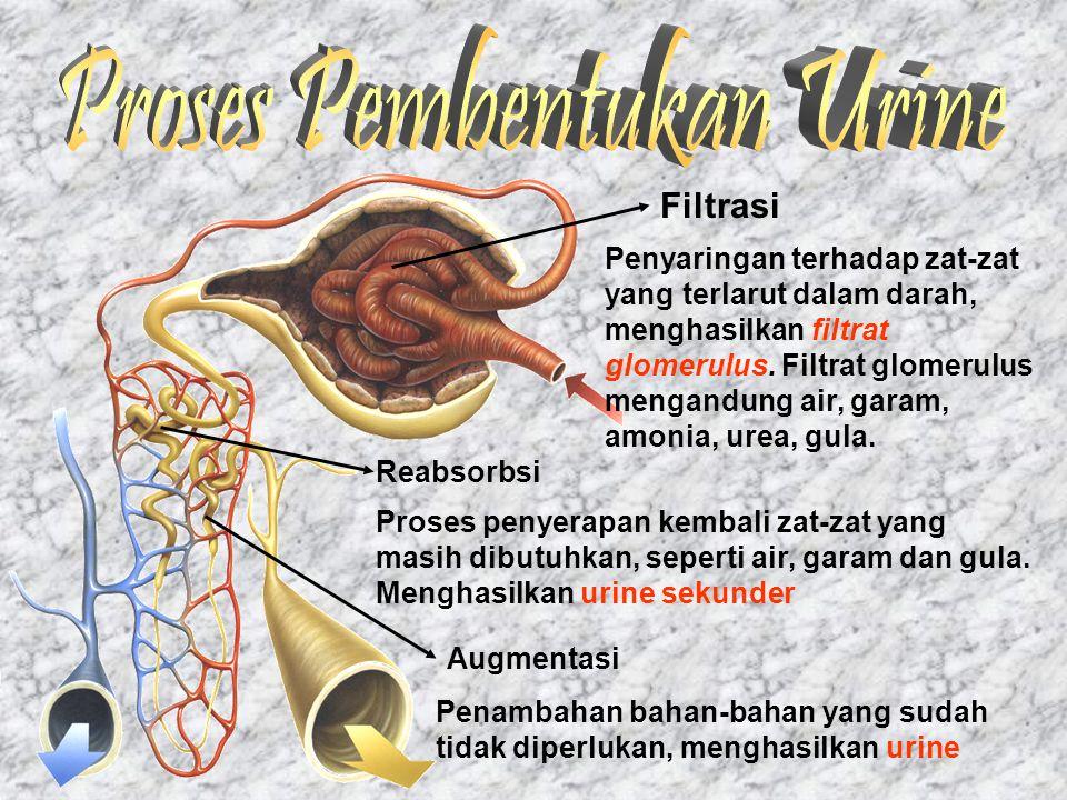 Filtrasi Penyaringan terhadap zat-zat yang terlarut dalam darah, menghasilkan filtrat glomerulus. Filtrat glomerulus mengandung air, garam, amonia, ur