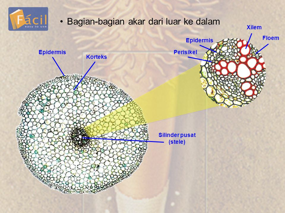 •Bagian-bagian akar dari luar ke dalam Korteks Epidermis Silinder pusat (stele) Epidermis Perisikel Xilem Floem