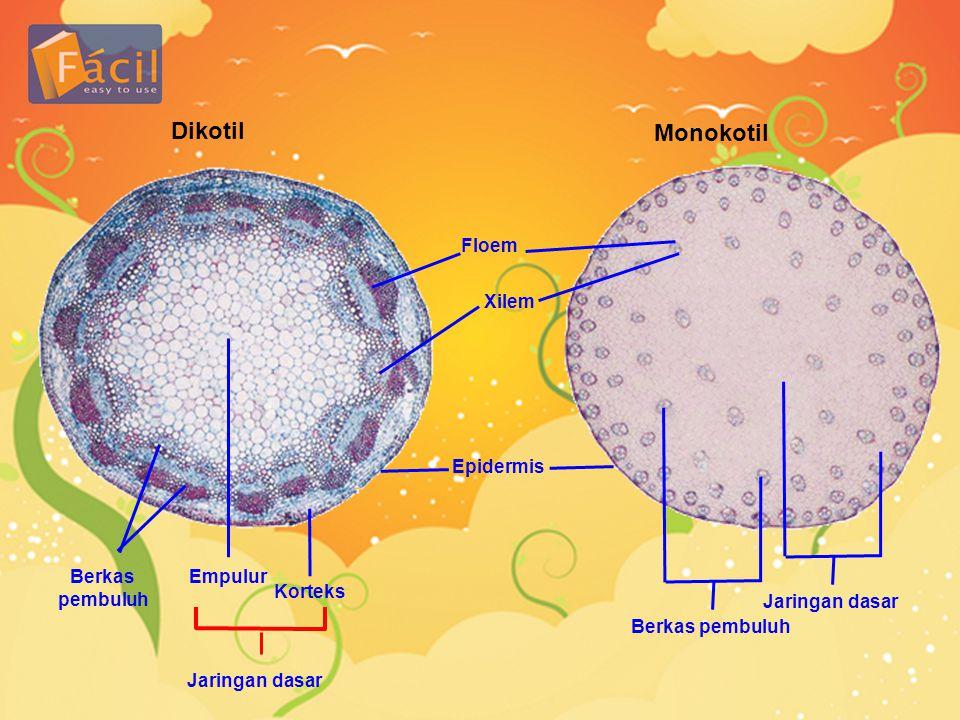 Dikotil Floem Xilem Epidermis Monokotil Korteks Empulur Jaringan dasar Berkas pembuluh Jaringan dasar