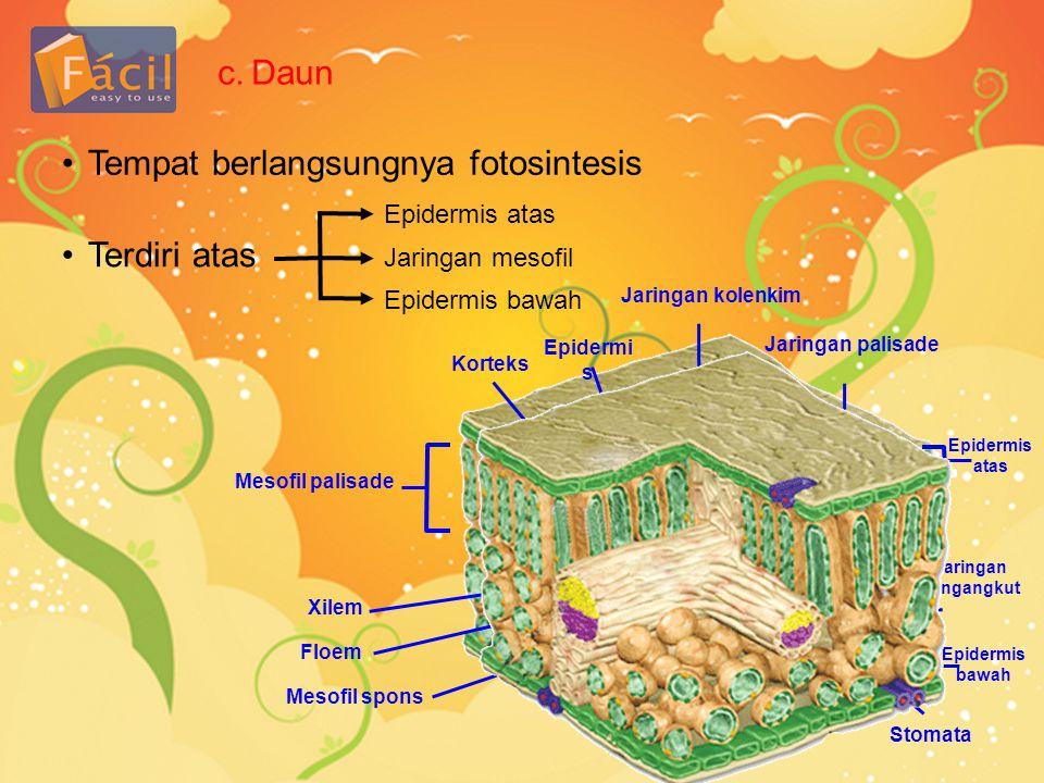 c.Daun •Tempat berlangsungnya fotosintesis •Terdiri atas Epidermis atas Jaringan mesofil Epidermis bawah Jaringan kolenkim Epidermi s Korteks Mesofil