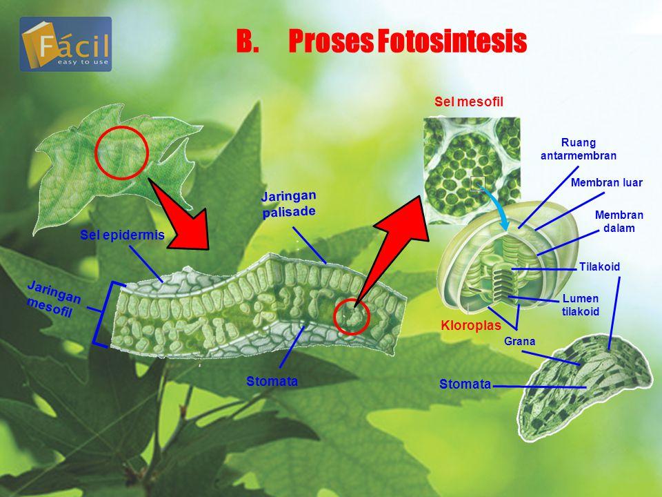 B.Proses Fotosintesis Jaringan mesofil Sel epidermis Stomata Jaringan palisade Sel mesofil Kloroplas Ruang antarmembran Membran luar Membran dalam Lumen tilakoid Tilakoid Grana Stomata