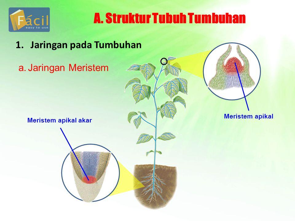 A. Struktur Tubuh Tumbuhan a.Jaringan Meristem 1. Jaringan pada Tumbuhan Meristem apikal akar Meristem apikal