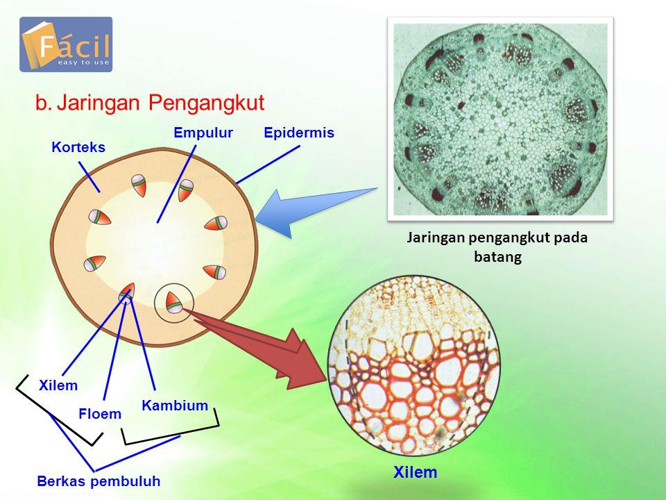 b.Jaringan Pengangkut Jaringan pengangkut pada batang Korteks EpidermisEmpulur Xilem Floem Kambium Berkas pembuluh Xilem