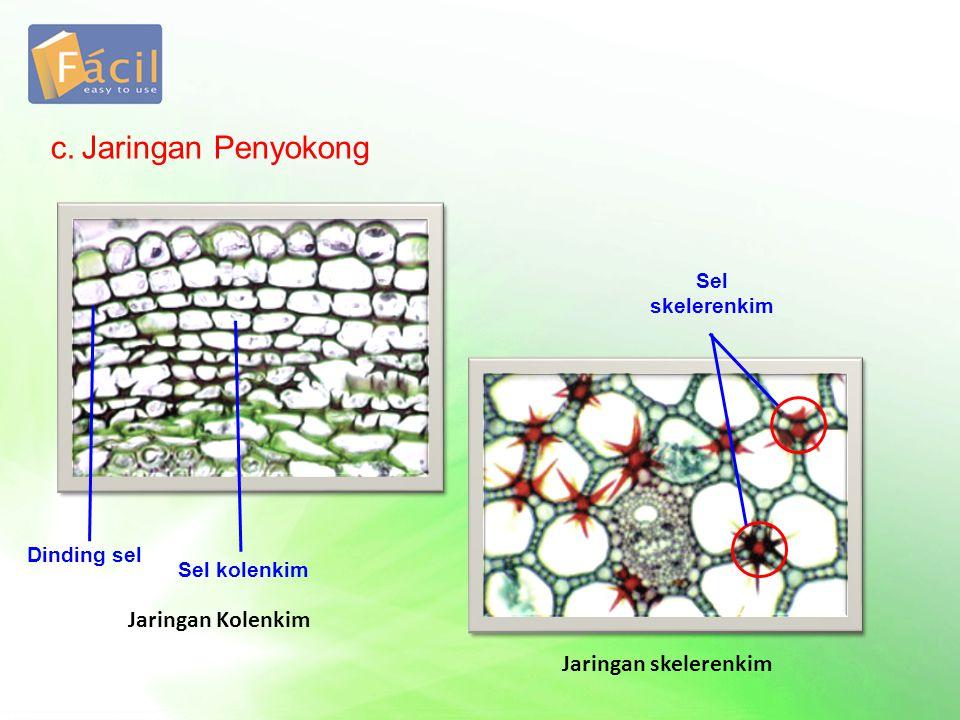 c.Jaringan Penyokong Dinding sel Sel kolenkim Sel skelerenkim Jaringan Kolenkim Jaringan skelerenkim